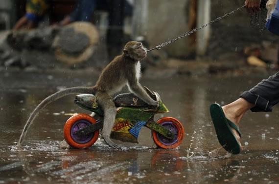 Macaco motoqueiro