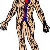 atividades corpo humano vascularizacao