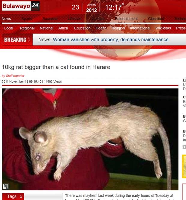 Foto de rato gigante
